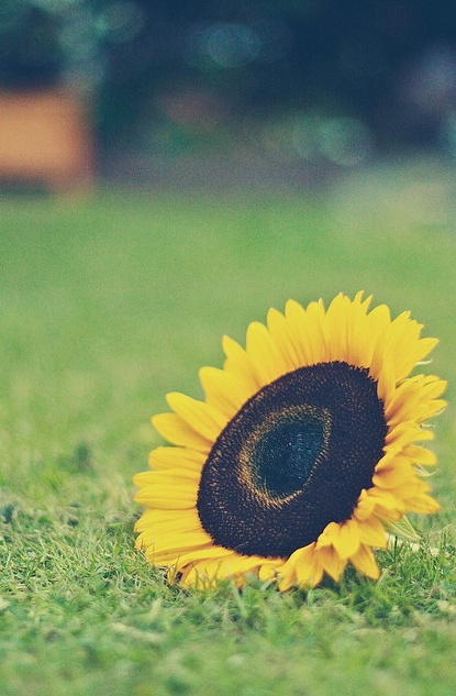 {sunflower love}