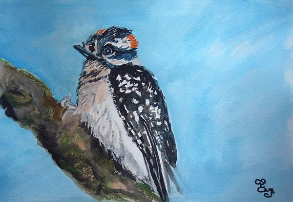 Male Downy Woodpecker, from a photograph by Rodney Campbell
