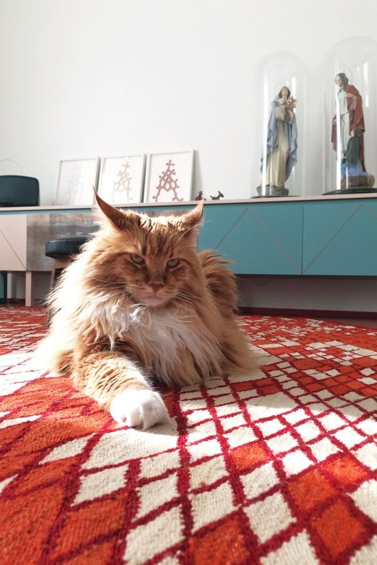 Maine coon in small apartment