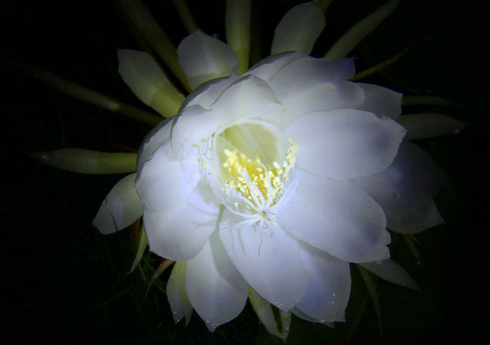 10 Lovely Flowers Which Bloom Only At Night Flowers Kamal