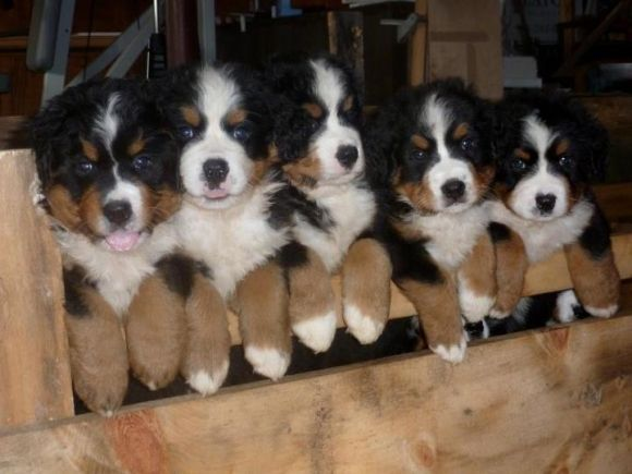 Friend's Bernese Mountain Dog Had Puppies | Cutest Paw