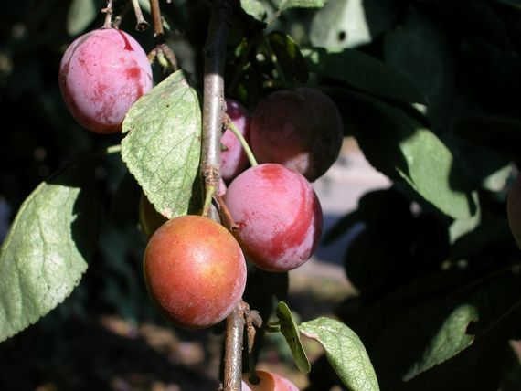 Plums: Planting, Growing, and Harvesting Plums in the Garden from The Old Farmer's Almanac.