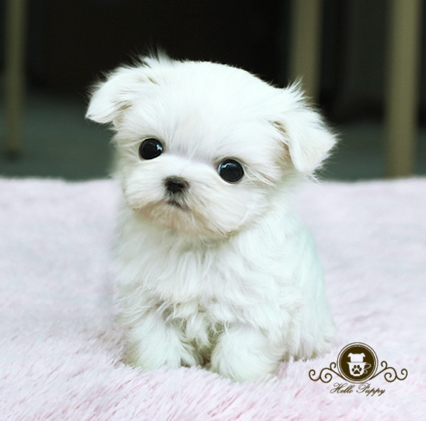 white teacup maltese 9 best images about teacup maltese on pinterest i 7602