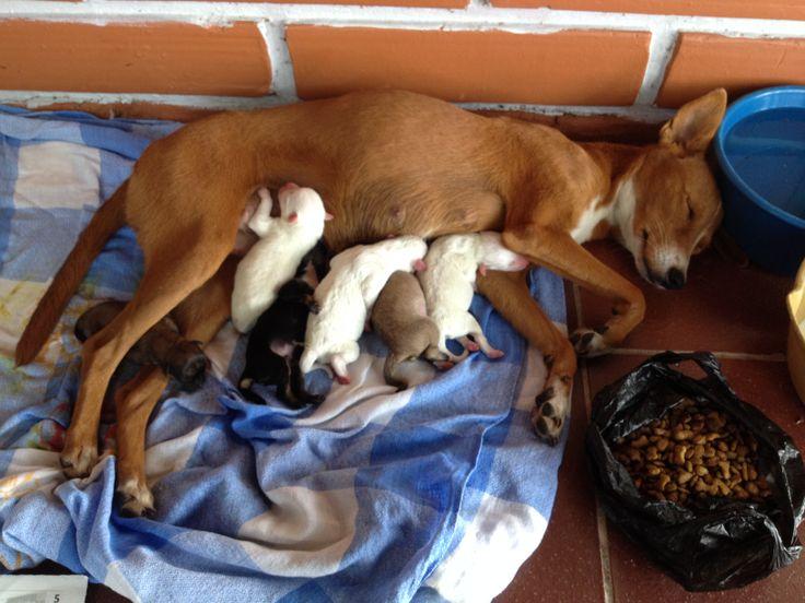 Porque somos humanos y también tenemos respeto por toda vida existente, también respetamos y cuidamos de los animales; dos mascotas ayudan a cuidar en las noches el Campus. Tana es una de ellas, en su tierno y cuidadoso papel materno.  Los bebés se dispusieron en familias responsables que cuidarán bien de ellos así como nosotros cuidamos de la mamá.  Varios funcionarios de la Seccional, incluyéndome, estuvimos con ella durante el parto acompañándola y ayudándola :)
