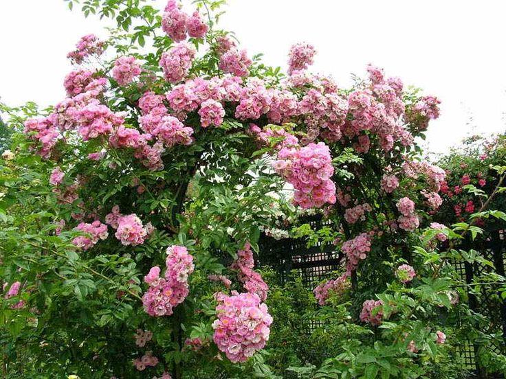 Садовые арки из цветов. Обсуждение на LiveInternet - Российский Сервис Онлайн-Дневников
