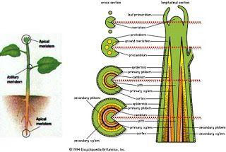 perbedaan pertumbuhan primer dan sekunder pada manusia,perbedaan pertumbuhan primer dan sekunder,tabel perbedaan pertumbuhan primer dan sekunder,perbedaan pertumbuhan primer dan sekunder pada tanaman,