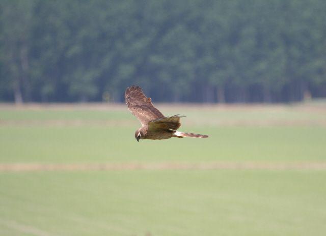 Albanella minore (Foto di M.Canziani) in volo sulle risaie appena fuori dagli argini del Po (www.uomoeterritoriopronatura.it).