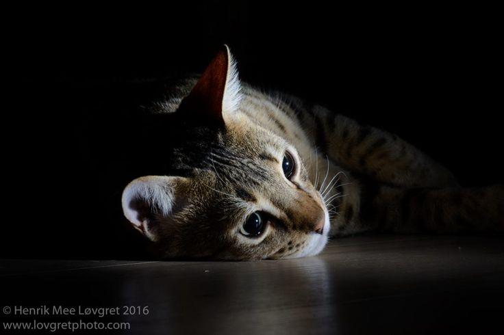 Bengal cat Winston gazing into the darkness