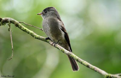 papa-moscas-cinzento_contopus cinereus Brazilian Birds