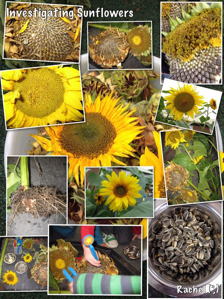 """Investigating sunflowers & removing the seeds with tweezers - from Rachel ("""",)"""