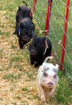 Many people are becoming increasingly interested in the idea of owning a potbelly pig. Its a wise decision, because many of those adorable, funny...