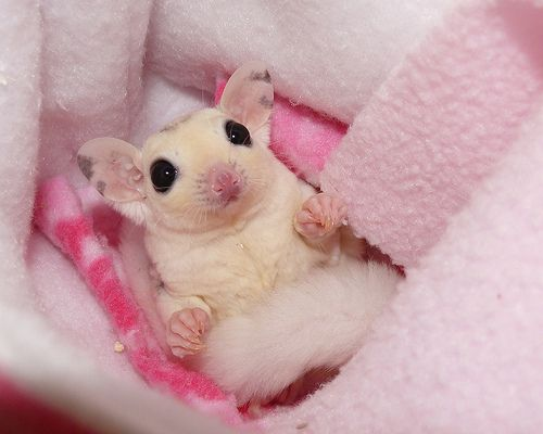 Cute Sugar Glider | ... couple state's only breeders of ...