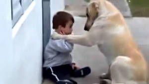 Trisomie 21 / Down Syndrom Ce Labrador prend soin et est le meilleur ami de cet enfant atteint de Trisomie 21