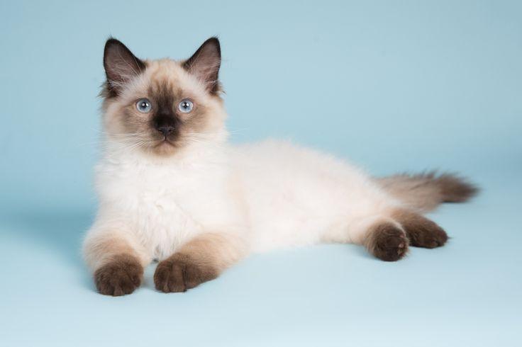 Kattenfotografie Hillegom - Fotoshoot Ragdoll kittens-16