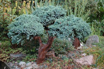 HAVETIDJuniperus squamata 'Blue Star' pruned heavily