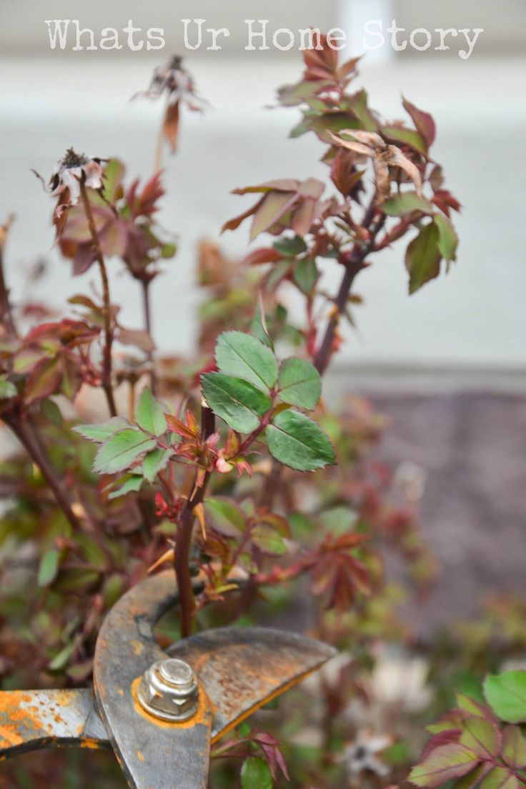 how to prune knockout roses