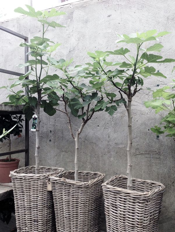 Fig trees  wicker baskets   concrete wall
