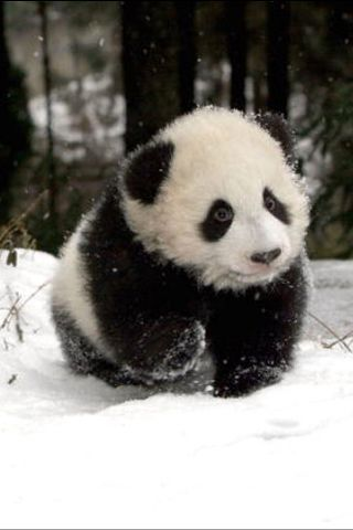 I AM LOOKING FOR MOM, HAVE YOU SEEN MY MOMMY?  Cute baby panda...