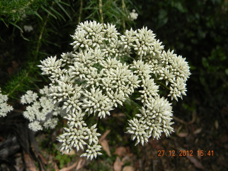 Native white flower.