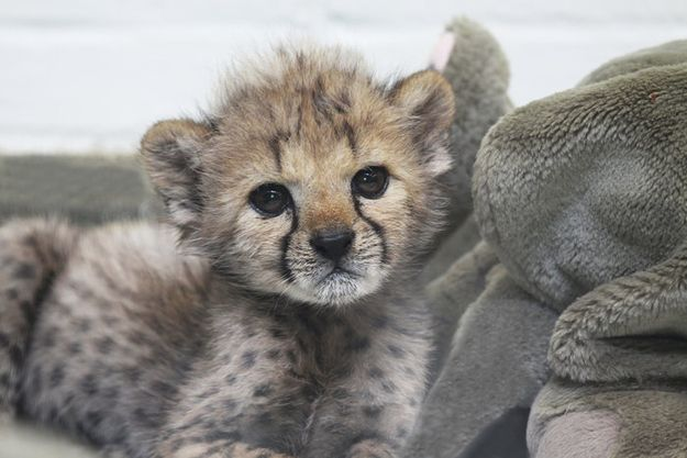 Three Baby Cheetah Videos To Make Your Day Cuter