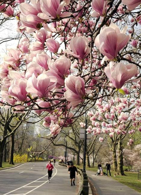 pink magnolias  Blossoms in Central Park. The trees bloom in New York's Central Park, an exceptionally early. The reason is the unusually warm winter.