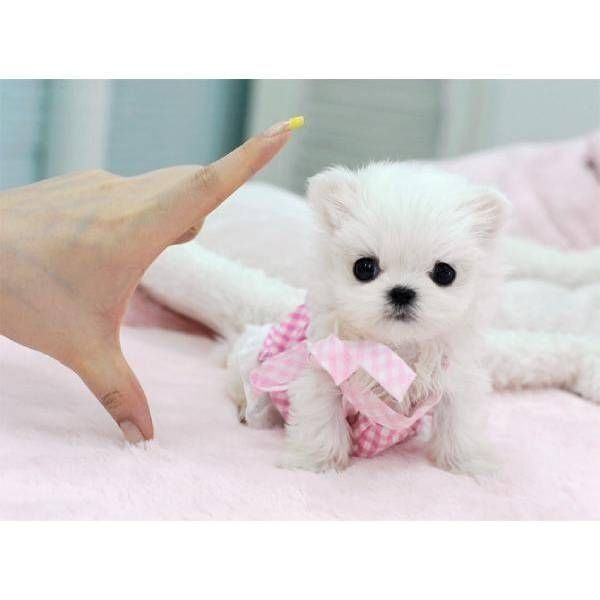 Cutest! Mini Maltese