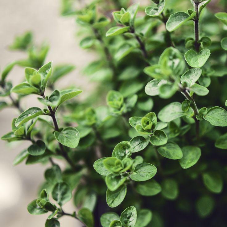 mint meadows: Rozmaryn, oregano, tymianek.. zioła ozdobne.