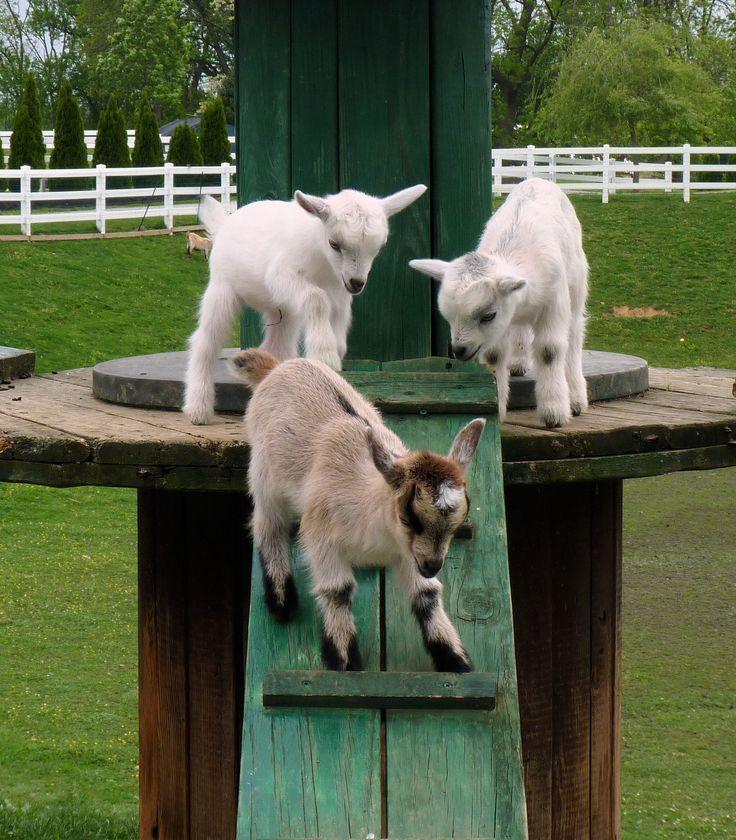 778 Best Goat Farm Images On Pinterest: 56 Best Baby Goats Images On Pinterest
