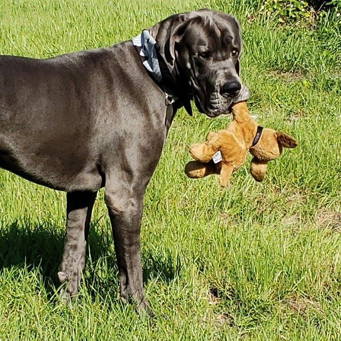 Fergus The Blue Great Dane Even Big Dogs Cherish A Special Toy