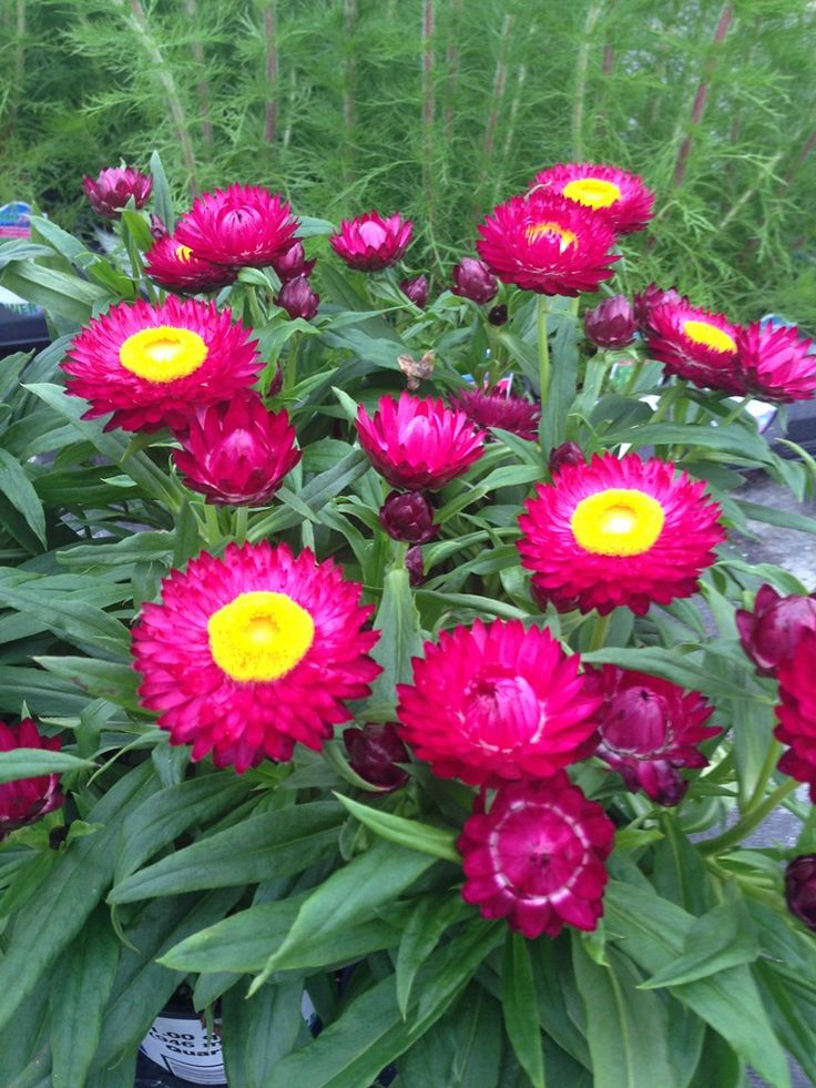 Bracteantha 'Helica Purple' Strawflower