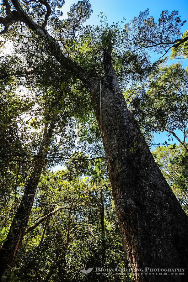 The Big Tree, Tsitsikamma National Park, South Africa