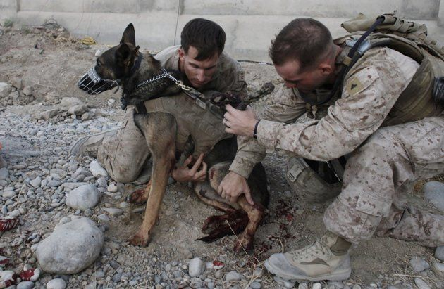 In this Sept. 8, 2011 photo, U.S. Marine dog handler Sgt. Mark Behl, left, of the 3rd Marine Expeditionary Force K9 unit, and another Marine, perform first aid on U.S. Military working dog Drak, after he was wounded in a bomb attack, in Sangin, Helmand province, Afghanistan. Drak's own handler, Sgt Kenneth A. Fischer, was also wounded in the bomb attack, which also killed several civilians. Both Fischer and Drak were flown out of the country for surgery and recovery. Eventually, in line with…