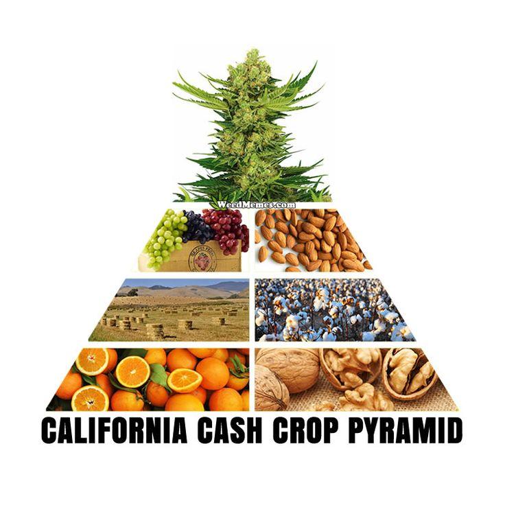 Top California Cash Crops Pyramid Cannabis Largest Cash Crop Weed Memes #weedmemes #cannabis #stoners #marijuana #kush