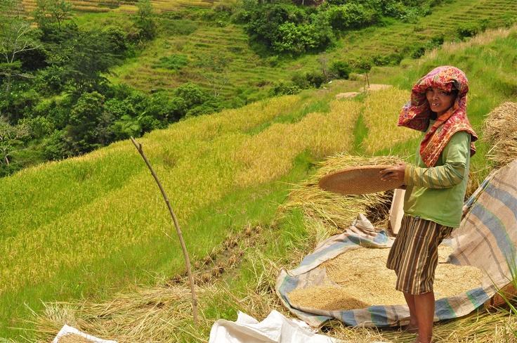 SAWAH : mengayak padi yang sudah di panen dari batangnya... panen raya