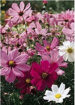 Cosmos is one of my favorite wildflowers. When we lived in NC, the interstate islands were frequently planted with it. So lovely!