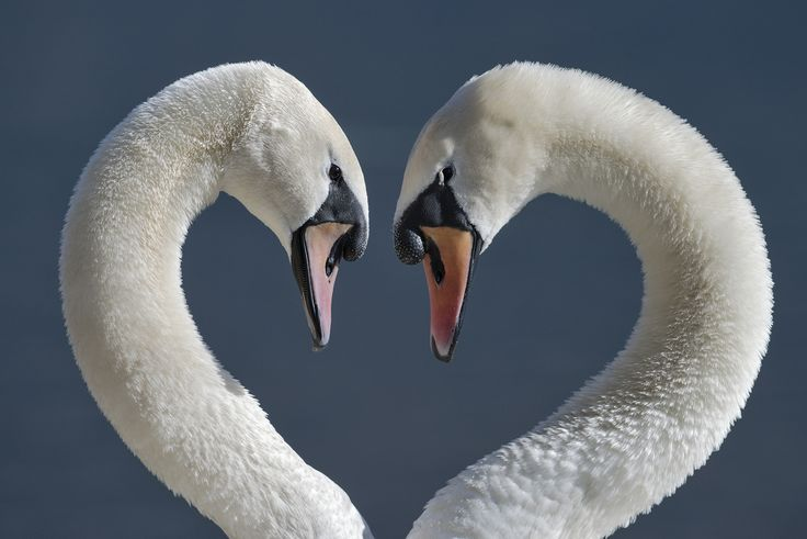 Swans face to face - Due cigni si fissano.