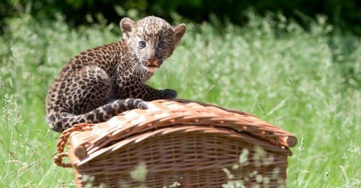 Filhote de leopardo javanês senta-se numa cesta durante apresentação para a imprensa no zoológico de Tierpark, em Berlim, na Alemanha. O ani...