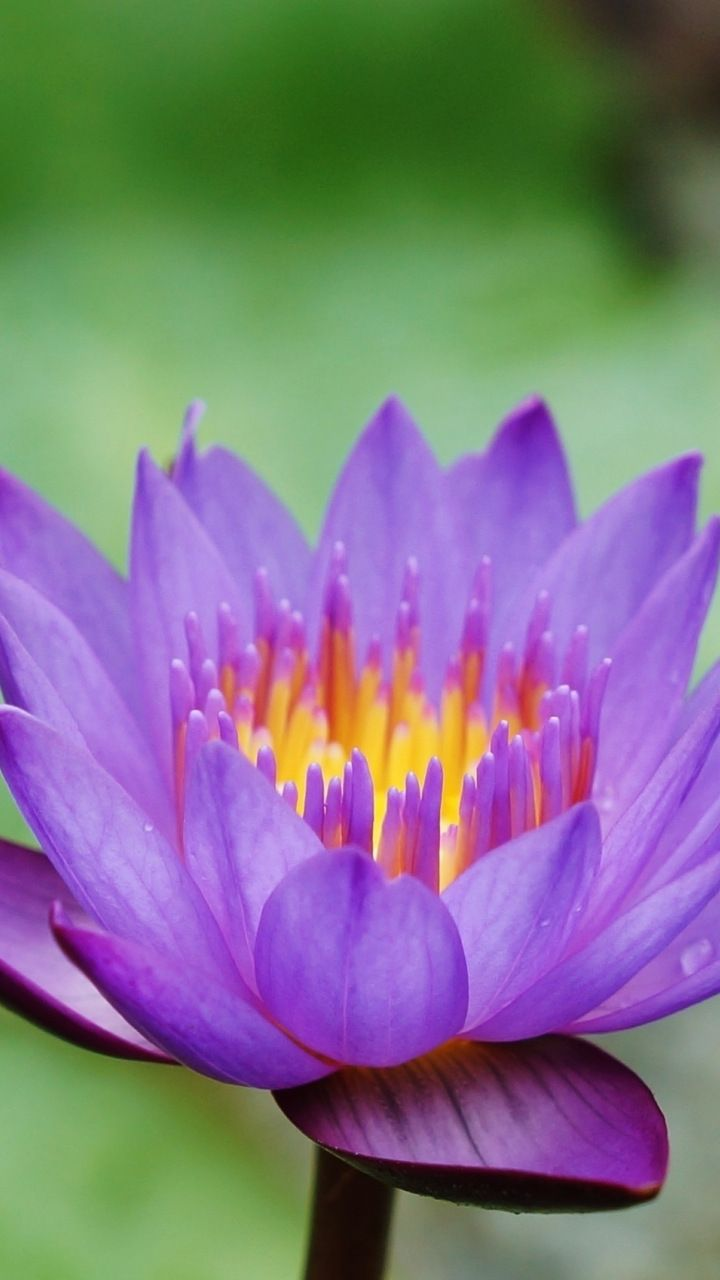 Free photo Water Lily Lily Blue Water Lily Nymphaea Caerulea Max