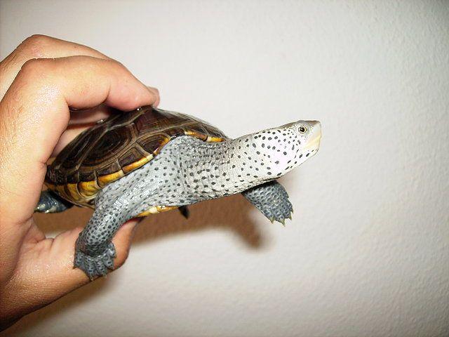 Testudinae - fotos acuaticas varias - Tortugas acuáticas y semiacuáticas