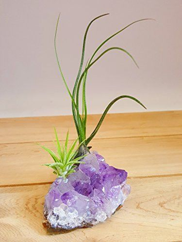 "Bliss Gardens Purple Amethyst Crystal Quartz 3-4"" with 2 Air Plant Tillandsia / Healing Garden / Terrariums / Great Gift / Paper Weight"