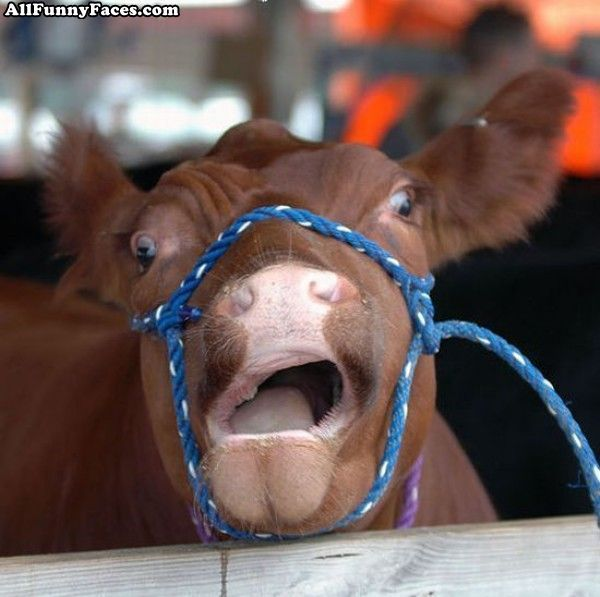 funny pictures | Funny Cow Face | Funny Faces Pictures