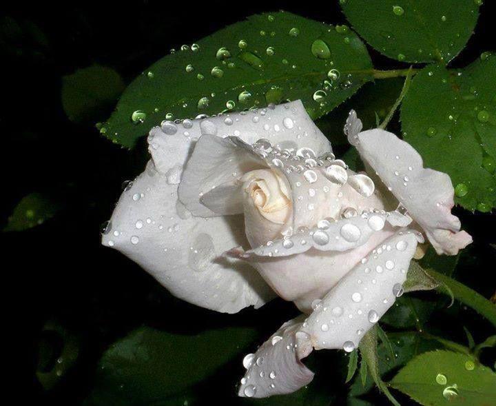 301 best Roses images on Pinterest   Schöne blumen, Gärtnern und ...