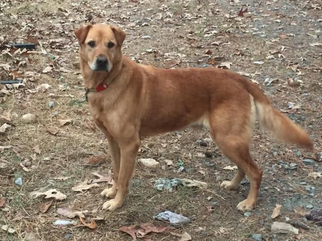 Red • Golden Retriever & Shar Pei Mix • Adult • Male • Large Heart of Georgia Humane Society Macon, GA (Best if Only Dog) !! !! !!