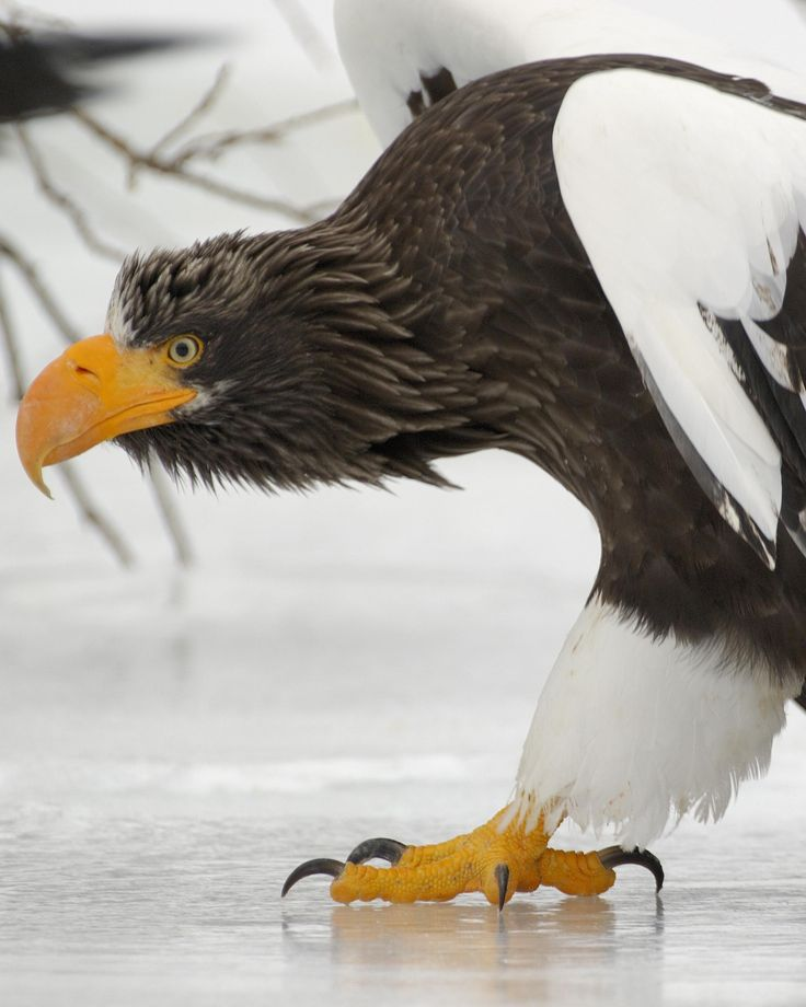 Steller's Sea Eagle - Birds of Prey - Looking for trouble!!