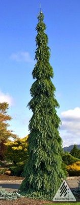 Picea glauca 'Pendula' An outstanding weeping selection and a notable example of an old clone which needs to be `rediscovered'. Distinctive in its very formal habit, yet very pendulous with stiffly held, downward-hanging branches, heavily covered with soft, light grey-green needles forming a narrow, conical shape. Discovered in a native stand in Guelph, Ontario.  | Photo by Iseli Nursery, Inc.   USDA Zone: 3 (-30 to -45 F / -34.4 to -40 C) Horticultural Status: Established Origin: Seedling…