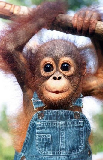 stinkin cute!Friends, Sweets, Funnyanimal, Pets, Baby Animal, Baby Monkeys, Funny Animal, Big Eye, Baby Orangutans