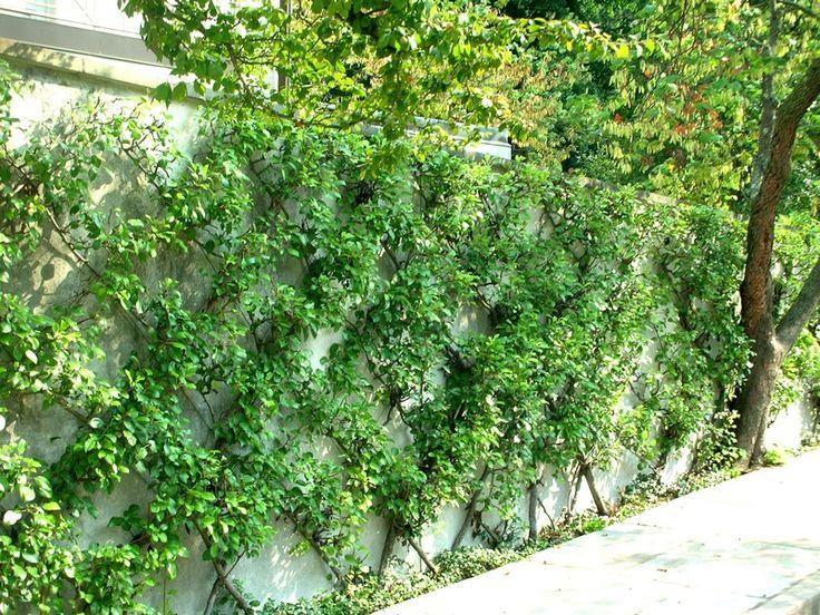 55 best espaliers pour embellir mur de votre jardin images on pinterest espalier fruit trees. Black Bedroom Furniture Sets. Home Design Ideas