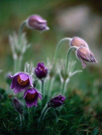 Desert flower Backsippa  Found in Sweden