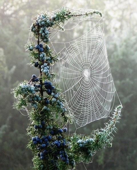 Telaraña perfecta  Esta telaraña realizada sobre un arbusto de arándanos azules (Vaccinium corymbosum) es sin duda una de las mejores imágenes de estas obras de ingeniería naturales que hemos visto nunca.