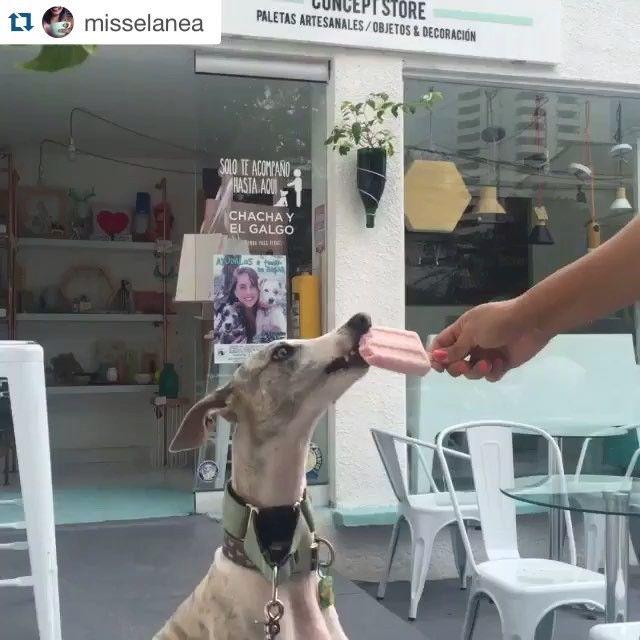 #Repost @misselanea ・・・ Paseo de domingo con #euro a @cielitolindoco  Disfrutando de una paleta de Smoothie para perros de @chachayelgalgo  #cali #calico #colombia #cielitolindo #dogsofinstagram #dogfriendly #sunday #fun #love #like #popsicle #icecream